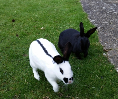 White rabbit and black rabbit in a garden