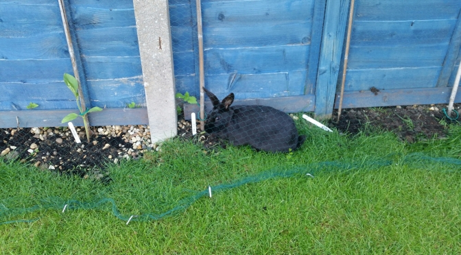 Sunflower Contest – Update #9 – Bunny Behind the Netting