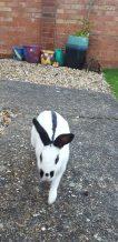 Rabbit running towards camera