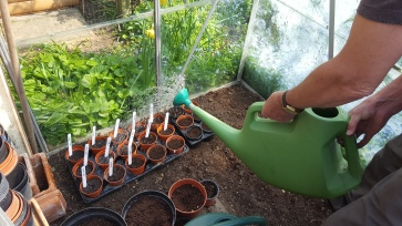 Sunflower seeds in garden pots being watered