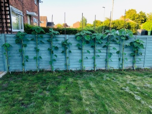 Sunflowers against the side fence