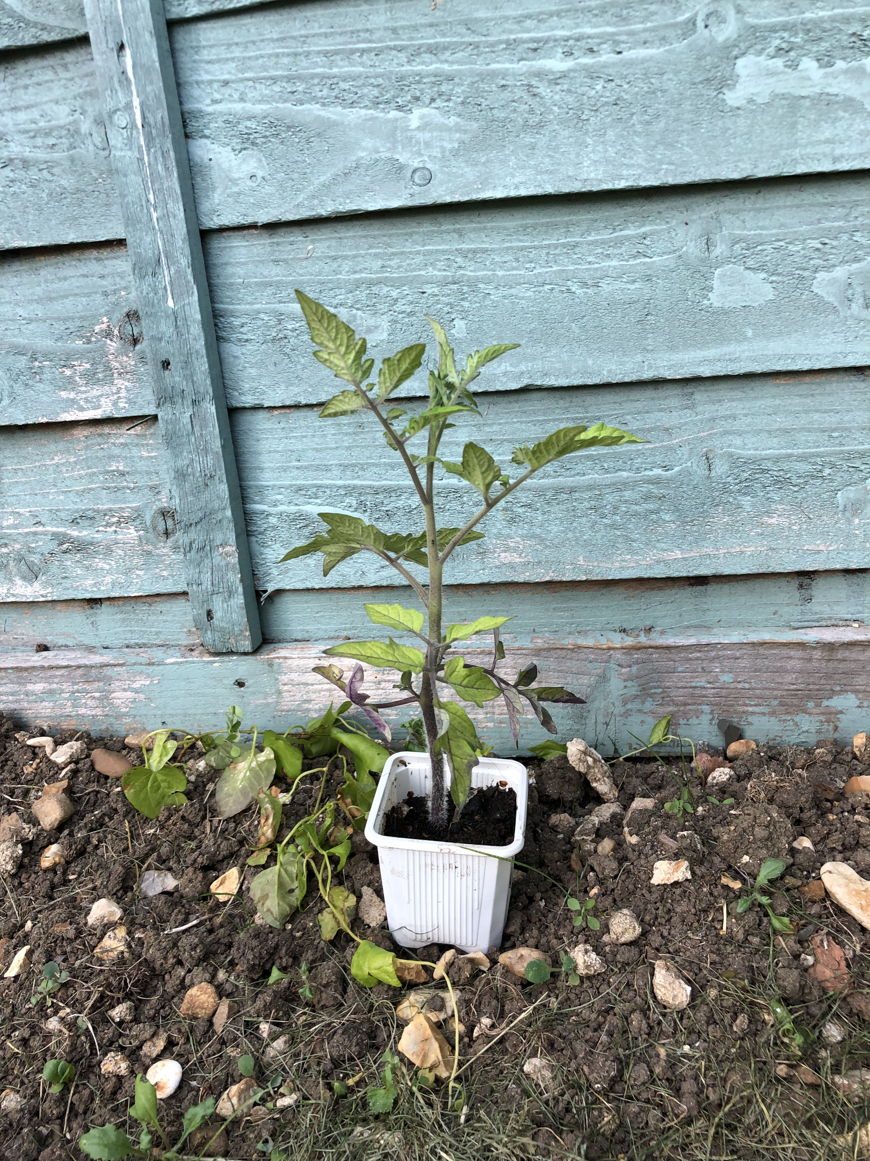 pTomato plant arrives at sunflower competition