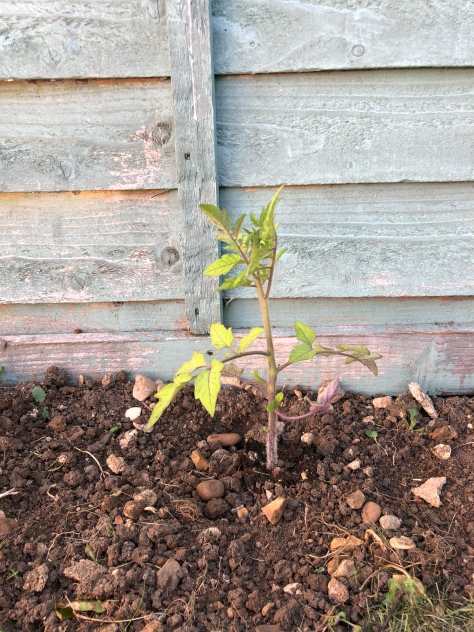 Tomato plant is planted