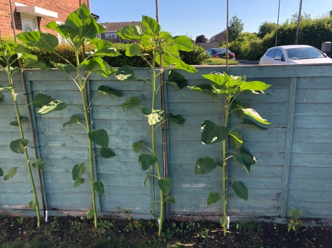 Tomato plant with sunflowers