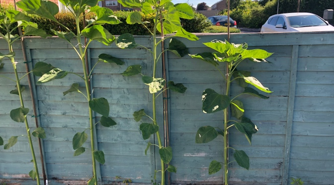Tomato Plant Joins Sunflower Contest