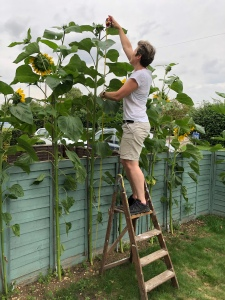 Lady up ladder measuring the tallest sunflower