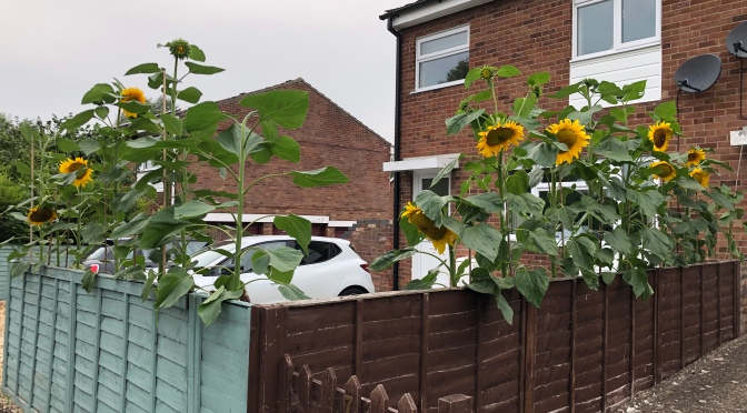 Sunflowers in front of house
