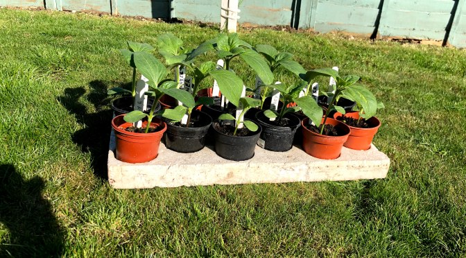 Sunflowers ready to be planted in the ground