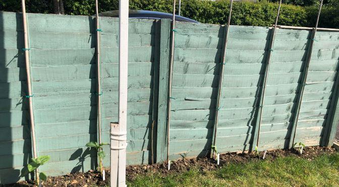 Sunflowers along a fence