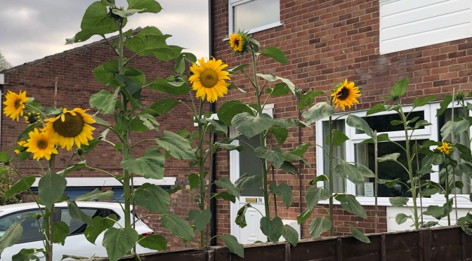 Have these sunflowers bloomed too soon?