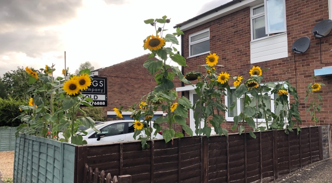 And the winners of the Bull-Knox Sunflower Contest 2020 are…